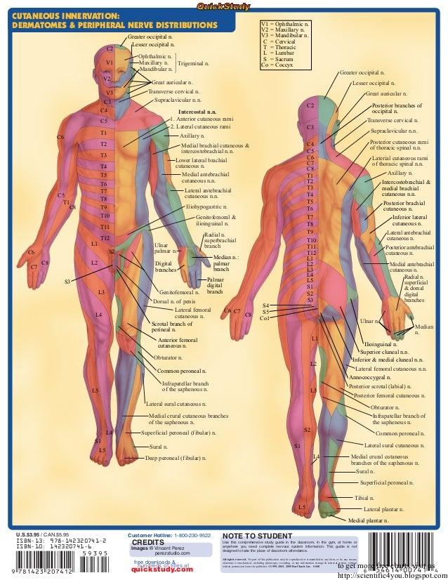 Peripheral Nervous System Chart Dolapgnetband