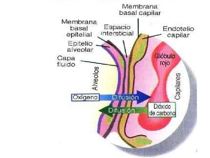 Histología Barrera Alvéolo-Capilar
