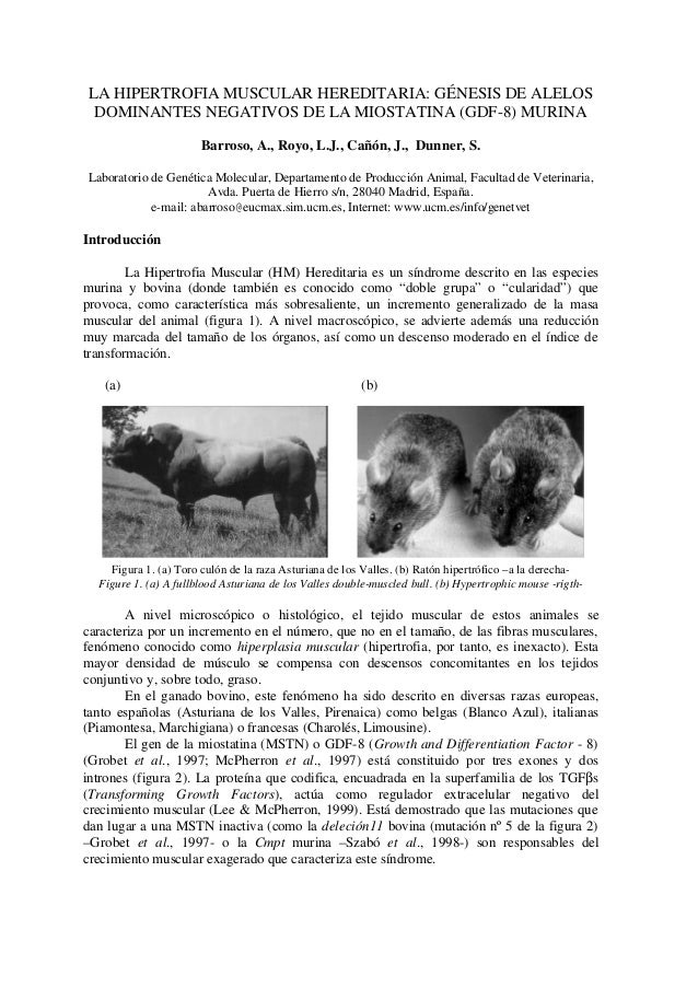 LA HIPERTROFIA MUSCULAR HEREDITARIA: GÉNESIS DE ALELOS DOMINANTES NEGATIVOS DE LA MIOSTATINA (GDF-8) MURINA Barroso, A., R...