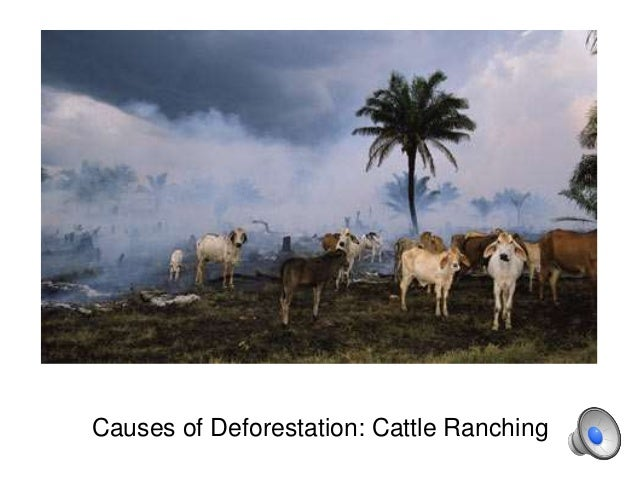 cattle ranching and its increasing affect on deforestation essay The harmful environmental effects of livestock production  the harmful environmental effects of livestock production are  system of cattle and other.
