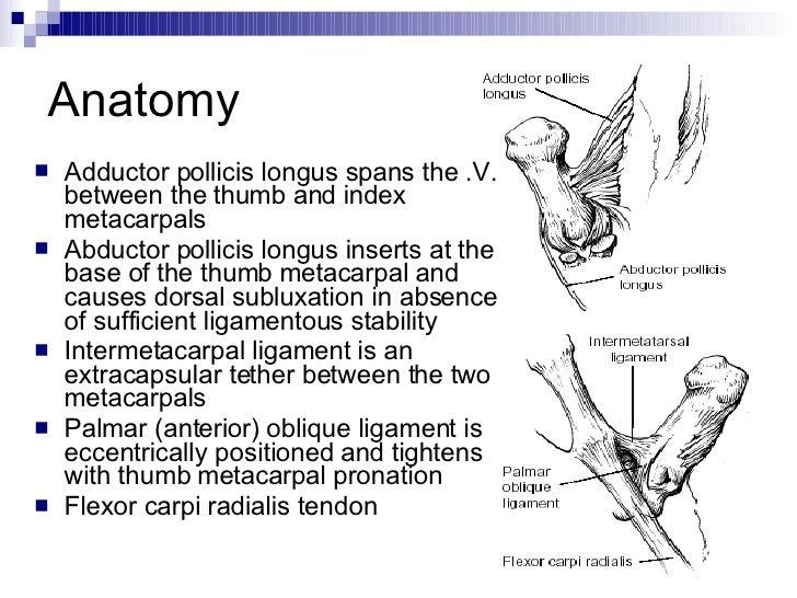 Anatomy thumb joints