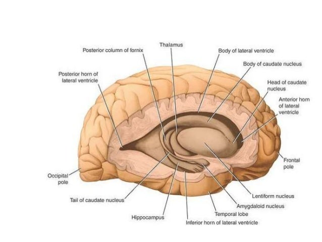 Anatomy of Basal ganglia