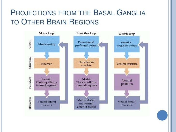 functions of basal ganglia Overall the basal ganglia receive a large amount of input from cerebral cortex, and after processing, send it back to cerebral cortex via thalamus this major function: as is true for the cerebellum, the ultimate answers about the exact function of the basal ganglia in the control of behavior have yet to be established.