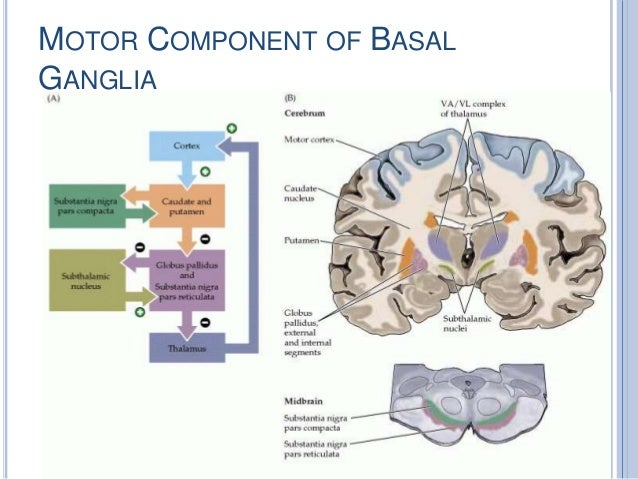 Basal ganglia anatomy
