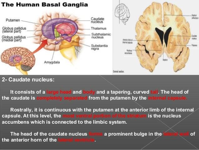 Basal ganglia and clinical anatomy, by Dr. Gagan Gupta(PT)