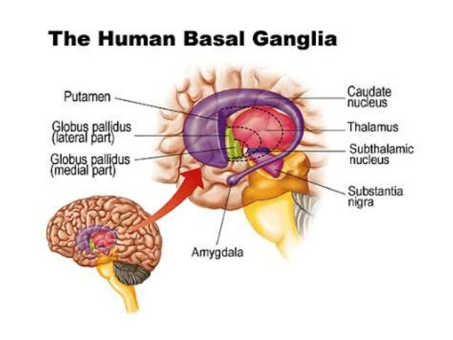 2245 together with 2063 additionally Glial Cell Activation Neuroinflammation How They Cause Centralized Pain besides Central nervous system also Circle Of Willis. on brain diagram labeled