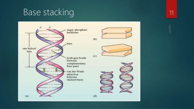 base pairing  base stacking and nucleic acid structure
