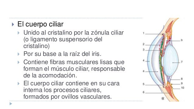 Bases anatomicas oftalmologia