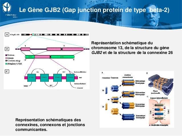 Représentation schématiques des connexines, connexons et jonctions communicantes. Représentation schématique du chromosome...
