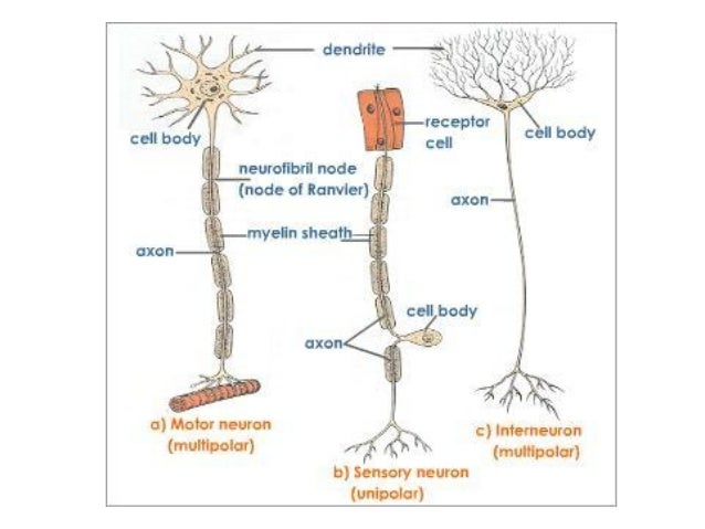 Nervous - Biology 101 with Collins at Humber College - StudyBlue