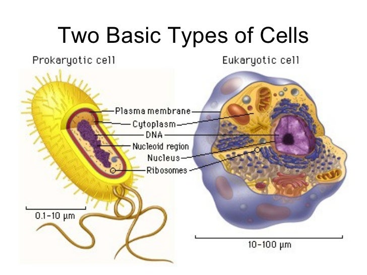 basic cell types, Human Body