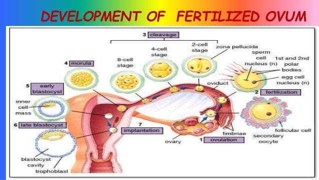 various stages of human development