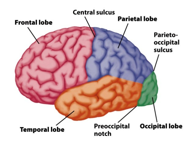 colored sections of the anatomy of the brain labeled