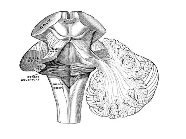 Basic Neuroanatomy Neurophysiology