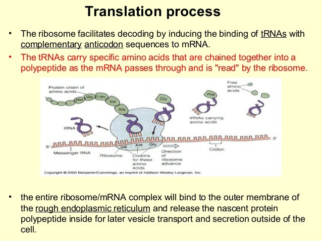 biology essay on ribosomes Recent evidence suggests that this setpoint is lowered when ribosome  biogenesis is slowed here we present evidence that yeast can sense ribosome.