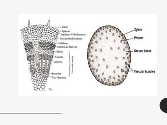 Morfologi Tumbuhan Batang