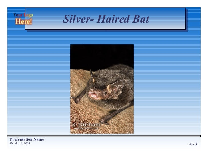 Silver- Haired Bat
