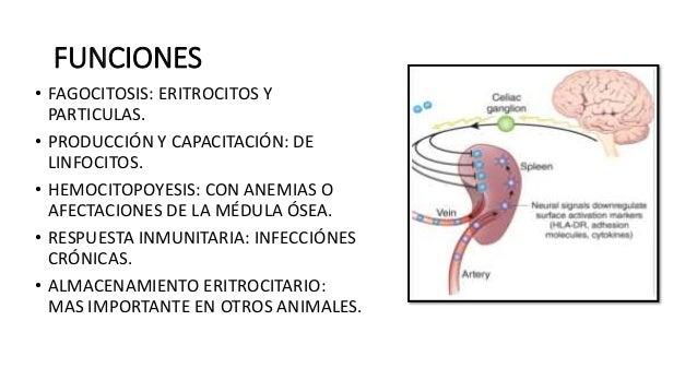 Bazo Anatomía