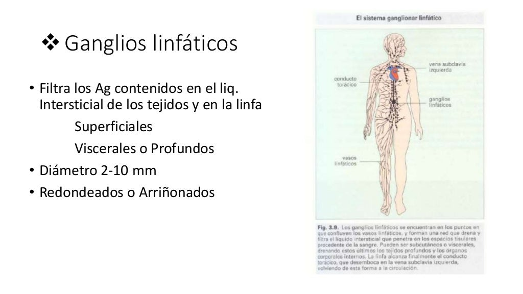 Bazo, ganglios linfáticos inmuno
