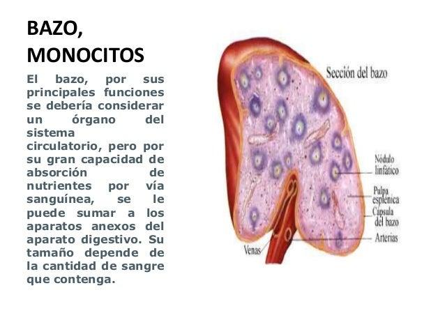 Bazo, monocitos