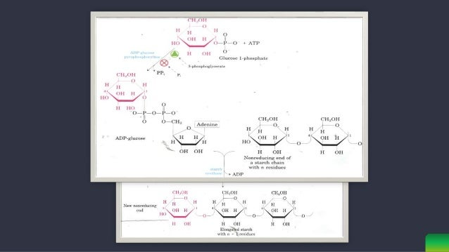 Starch Synthase(SS) catalyzes a 1,4- linkage between nonreducing end of glucan chain & Glc from ADP-Glc. SS can use both...