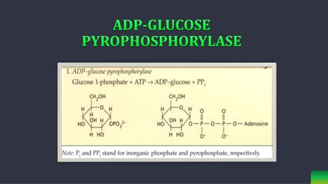 ADP-Glc acts as the glucosyl donor for different classes of starch synthases (SS), which elongate the a-1,4-linked glucan...