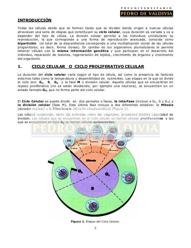 Celula Eucarionte Vegetal Y Animal Iii Adn Ciclo Celular Mitosis