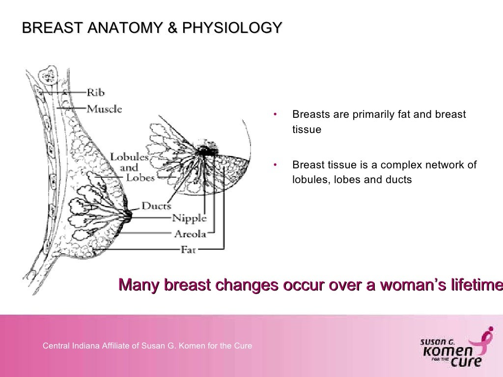 BREAST ANATOMY & PHYSIOLOGY <ul><li>Breasts
