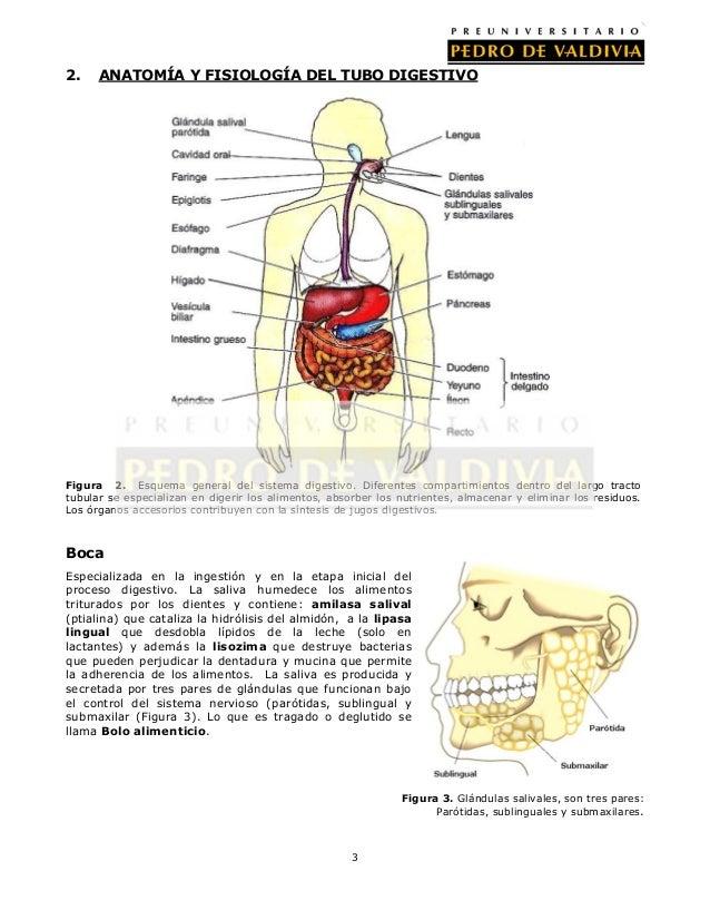 Lujo Anatomía De Los órganos Vitales Imagen - Anatomía de Las ...