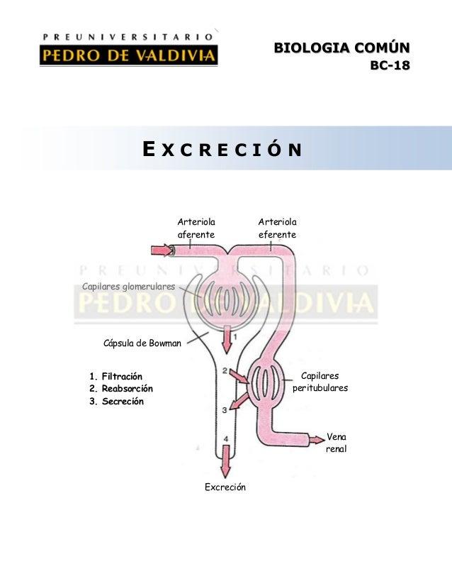 BIOLOGIA COMÚN BC-18  EXCRECIÓN  Arteriola aferente  Arteriola eferente  Capilares glomerulares  Cápsula de Bowman Capilar...