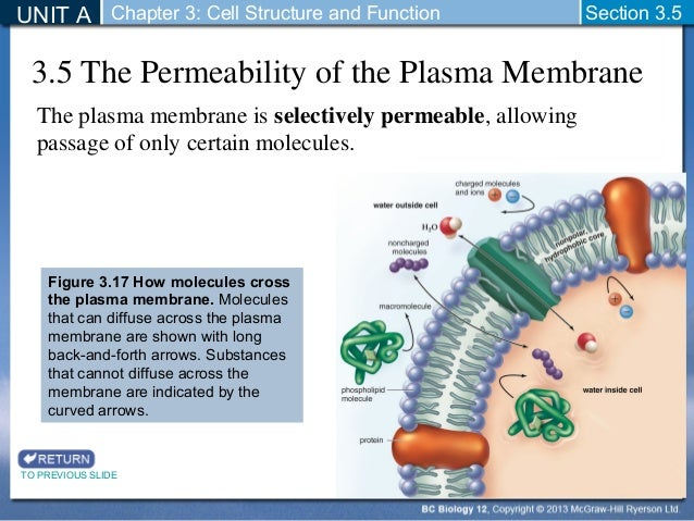 cell membrane and permeability 17-8-2018  all living cells are surrounded by a cell membrane which separates the cellular contents from the outside medium the organized contents of the cell.