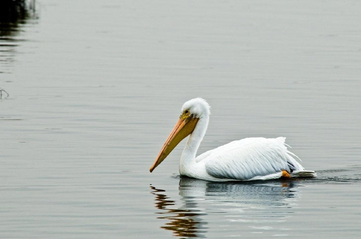 Bolsa Chica - White Pelicans