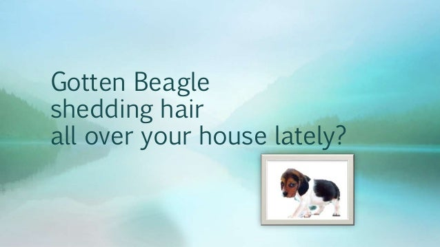 Gotten Beagle  shedding hair  all over your house lately?