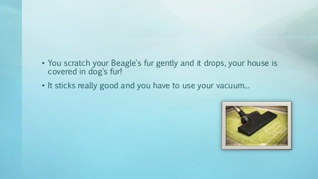 Gotten Beagle Shedding Hair All Over Your House Lately
