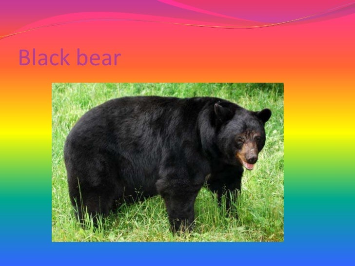 Black bear<br />