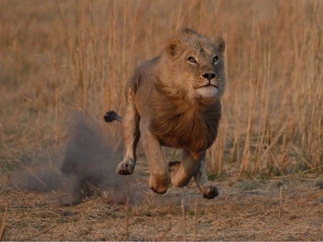 Il travaille avec des guépards, desIl travaille avec des guépards, desléopardsléopardset même avec les imprévisibles hyène...