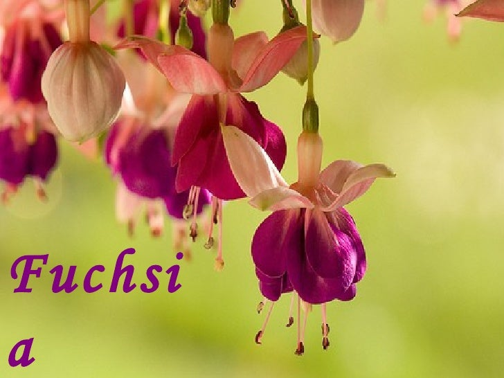 Fuchsia Queen
