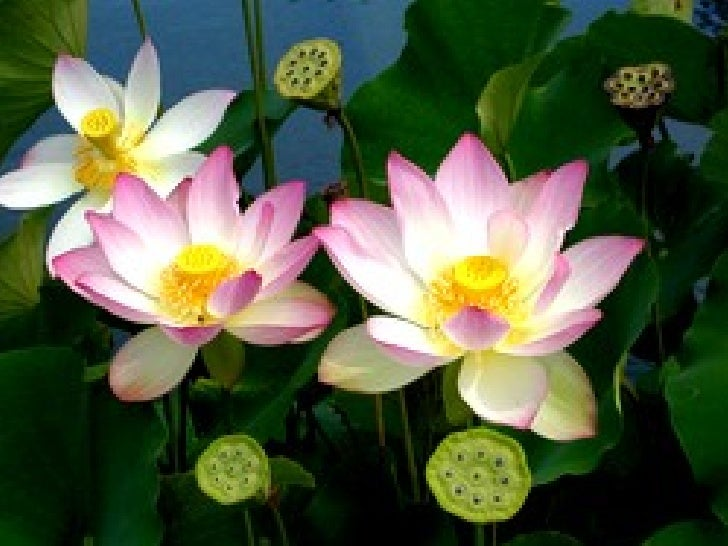 beautiful lotus flowers, Beautiful flower