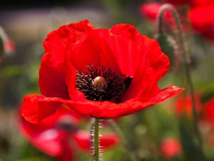 Beautiful poppy flowers for Beautiful pictures