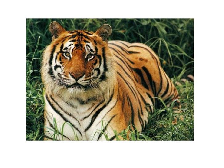 Bangle tiger <br />