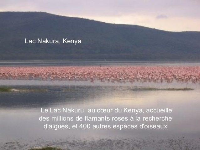 Lac Nakura, Kenya     Le Lac Nakuru, au cœur du Kenya, accueille    des millions de flamants roses à la recherche      dal...
