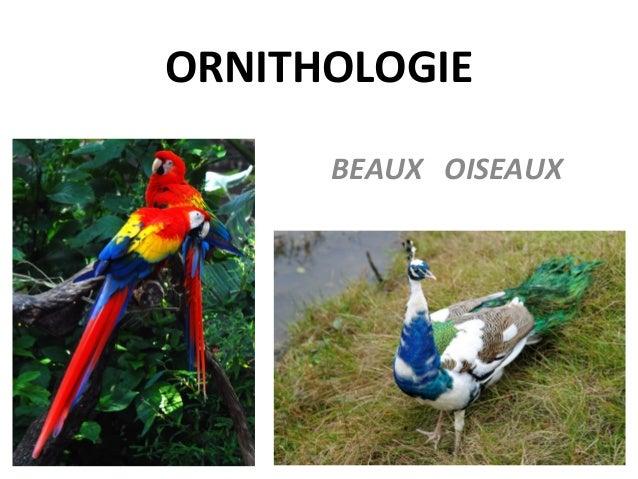 ORNITHOLOGIE BEAUX OISEAUX