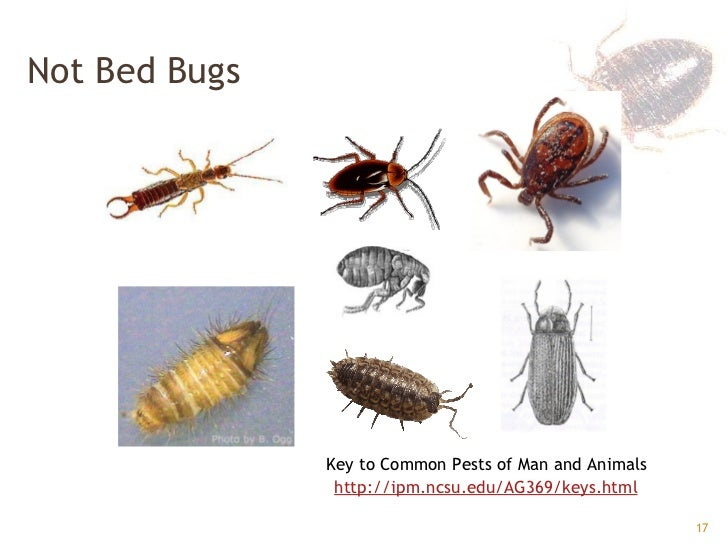 17  Not Bed Bugs. Bed Bugs GPHA
