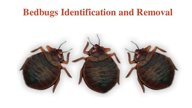 Bedbugs Identification and Removal