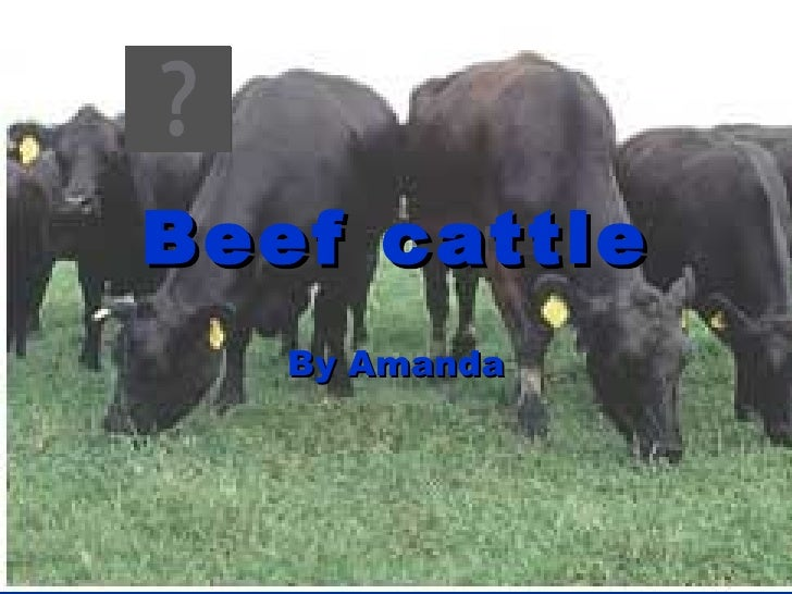 Beef cattle By Amanda