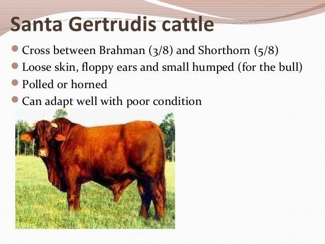 Beef Cattle Breeds