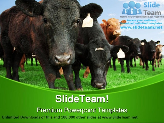 beef cattle on farm animals power point templates themes and backgrou