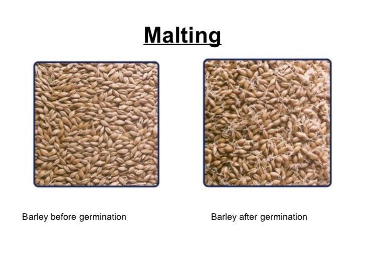 Malting Barley before germination  Barley after germination