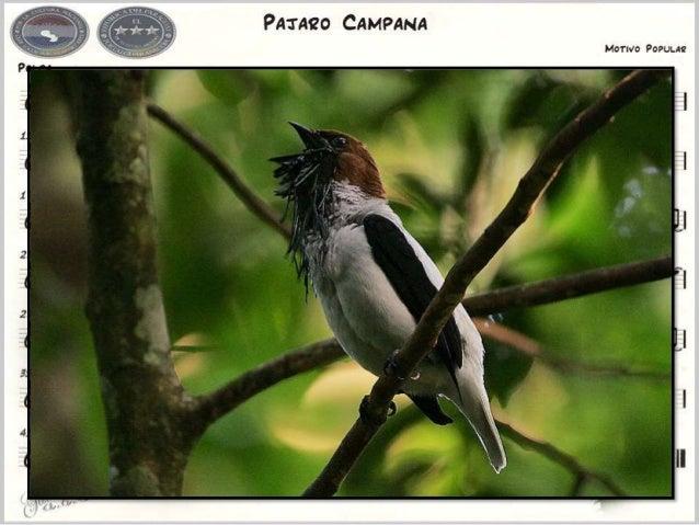 Bellbird. Pájaro campana