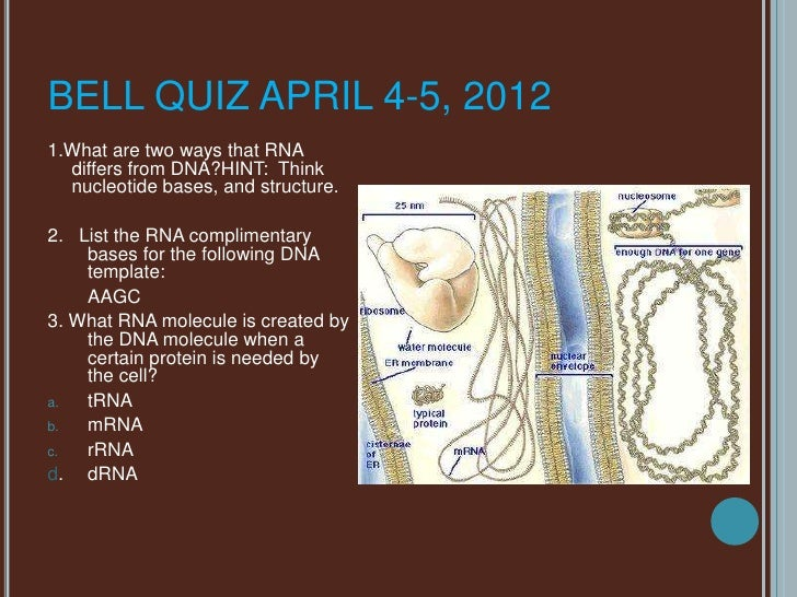 BELL QUIZ APRIL 4-5, 20121.What are two ways that RNA  differs from DNA?HINT: Think  nucleotide bases, and structure.2. Li...